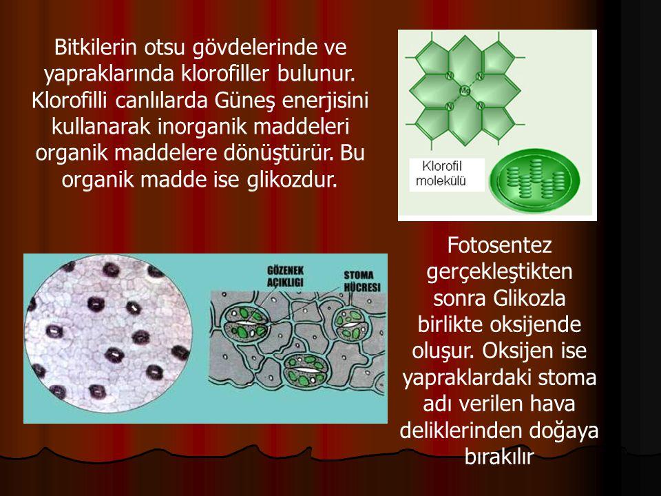 Bitkilerin otsu gövdelerinde ve yapraklarında klorofiller bulunur. Klorofilli canlılarda Güneş enerjisini kullanarak inorganik maddeleri organik madde