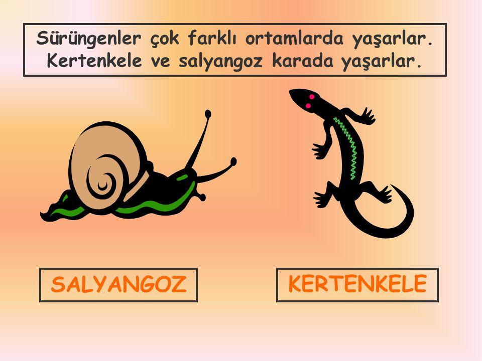 SALYANGOZKERTENKELE Sürüngenler çok farklı ortamlarda yaşarlar. Kertenkele ve salyangoz karada yaşarlar.