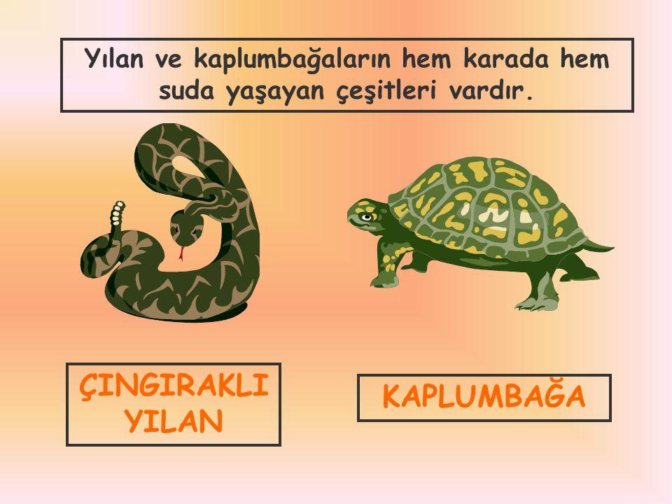 ÇINGIRAKLI YILAN KAPLUMBAĞA Yılan ve kaplumbağaların hem karada hem suda yaşayan çeşitleri vardır.