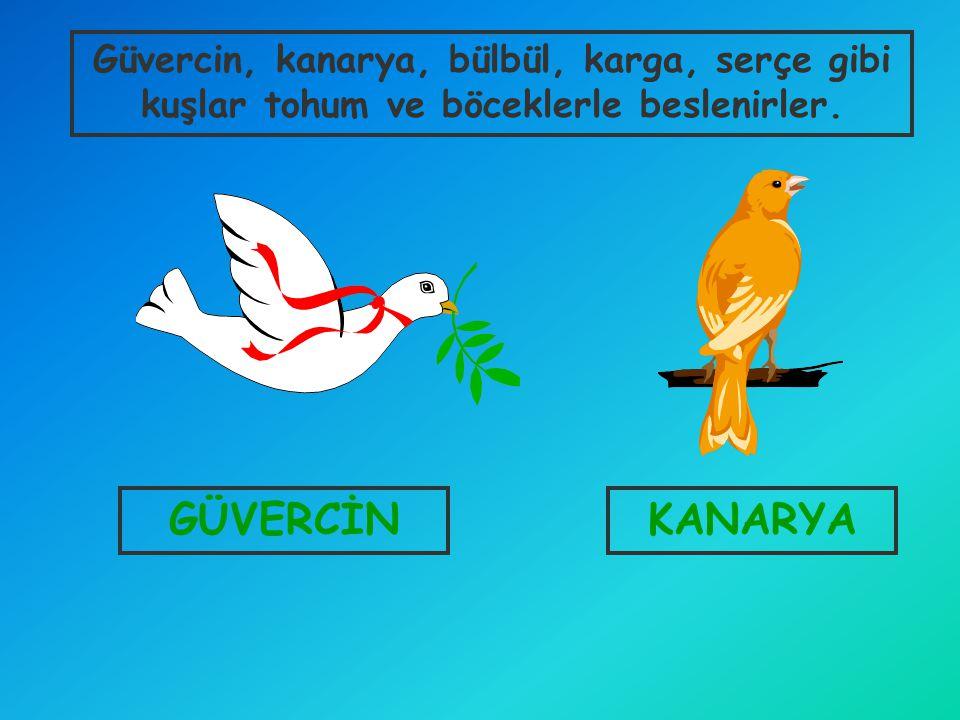 GÜVERCİNKANARYA Güvercin, kanarya, bülbül, karga, serçe gibi kuşlar tohum ve böceklerle beslenirler.