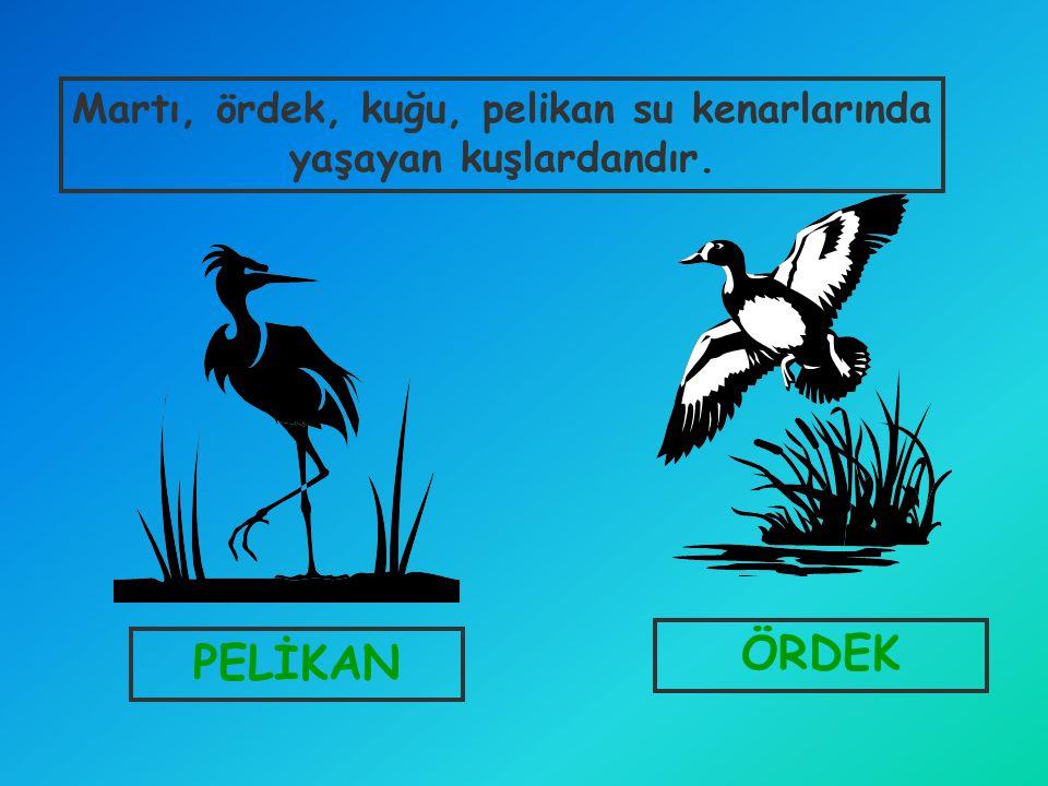 PELİKAN ÖRDEK Martı, ördek, kuğu, pelikan su kenarlarında yaşayan kuşlardandır.