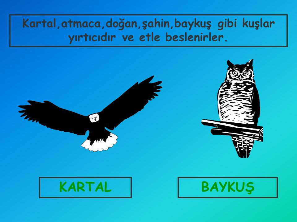 KARTALBAYKUŞ Kartal,atmaca,doğan,şahin,baykuş gibi kuşlar yırtıcıdır ve etle beslenirler.