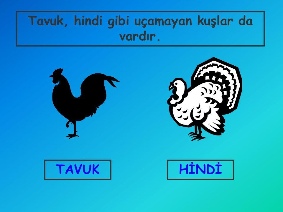 HİNDİTAVUK Tavuk, hindi gibi uçamayan kuşlar da vardır.