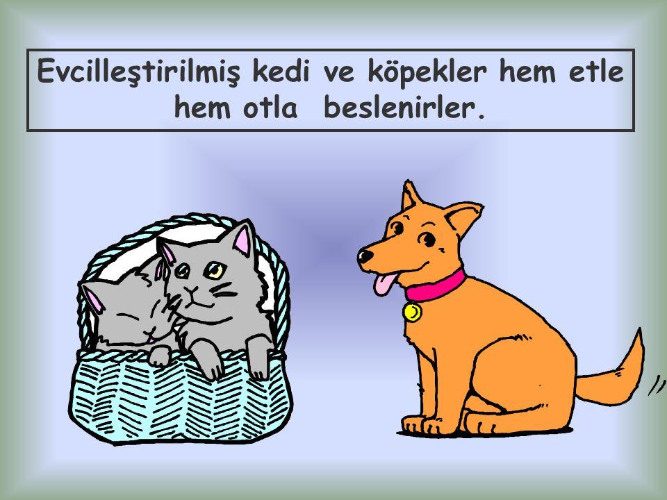 Evcilleştirilmiş kedi ve köpekler hem etle hem otla beslenirler.