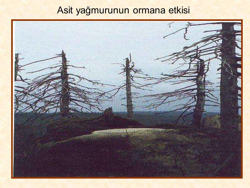 Asit yağmurunun ormana etkisi