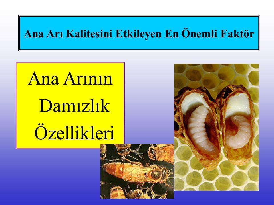 Ana Arı Kalitesini Etkileyen En Önemli Faktör Ana Arının Damızlık Özellikleri