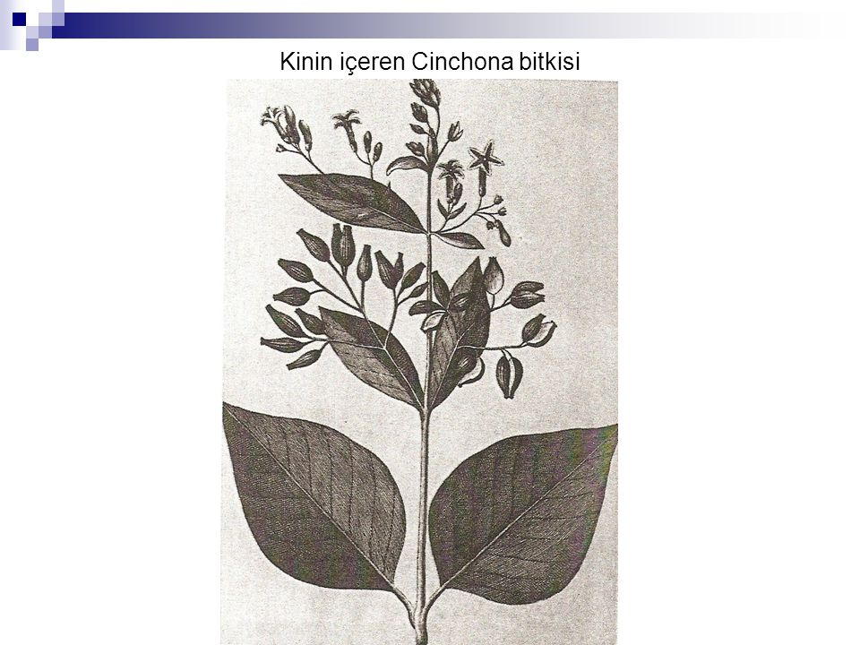 Kinin içeren Cinchona bitkisi