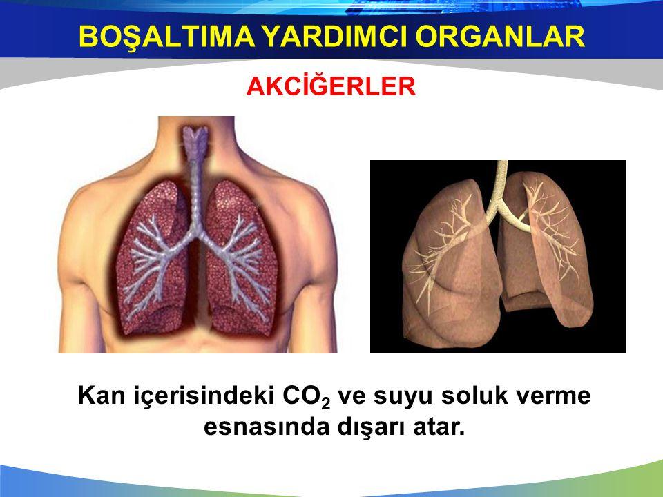 AKCİĞERLER Kan içerisindeki CO 2 ve suyu soluk verme esnasında dışarı atar. BOŞALTIMA YARDIMCI ORGANLAR
