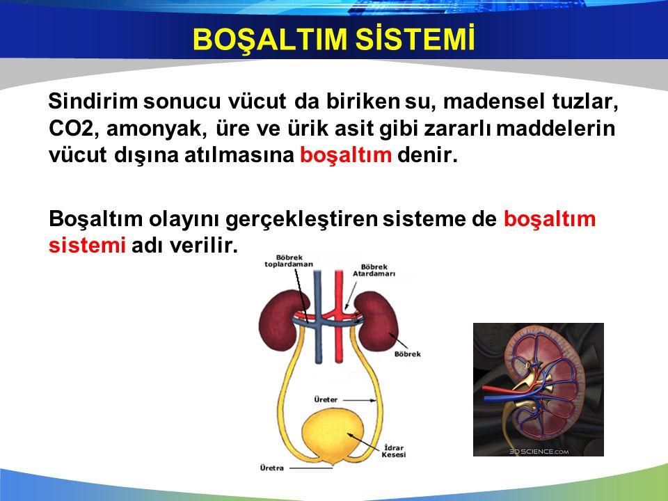 BOŞALTIM SİSTEMİ ORGANLARI  1.BÖBREKLER  2.ÜRETER (İDRAR KANALI)  3.