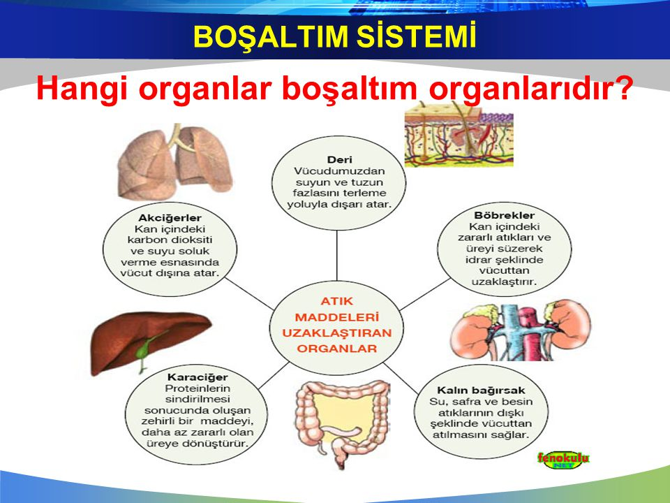 Hangi organlar boşaltım organlarıdır? BOŞALTIM SİSTEMİ