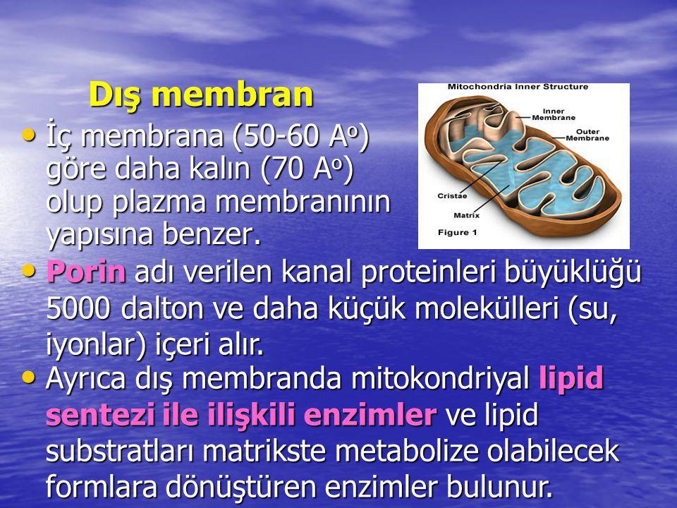 İ ç membran İç membran yarı geçirgen özelliktedir.