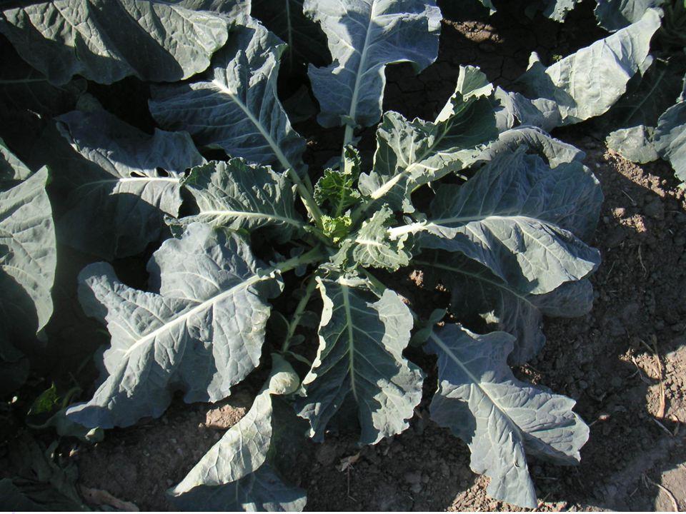 YETİŞTİRME ŞEKLİ Toprak hazırlığı, ekim dikim ve bakım; İşlemler lahanaya çok benzer.