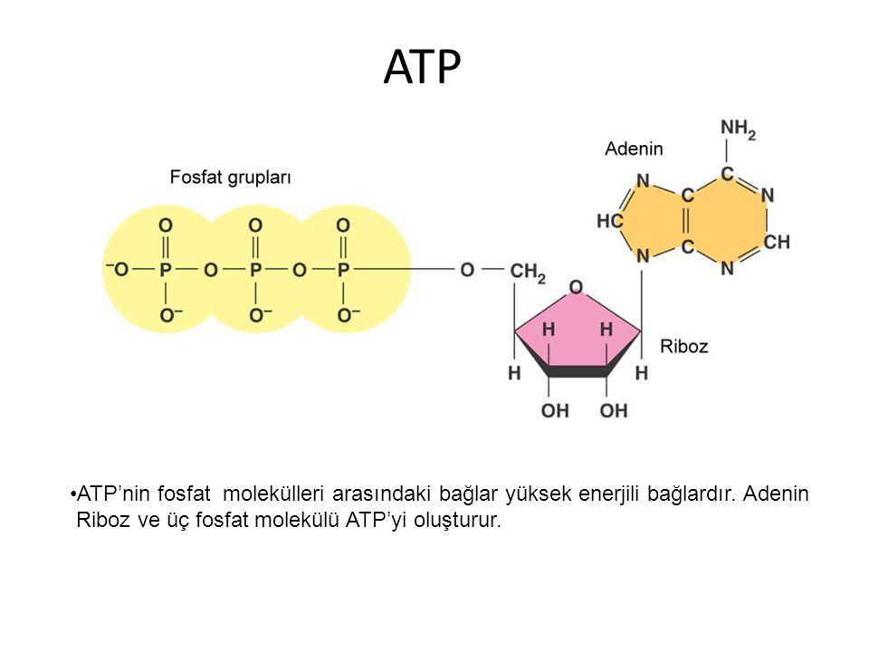 ATP ATP'nin fosfat molekülleri arasındaki bağlar yüksek enerjili bağlardır.