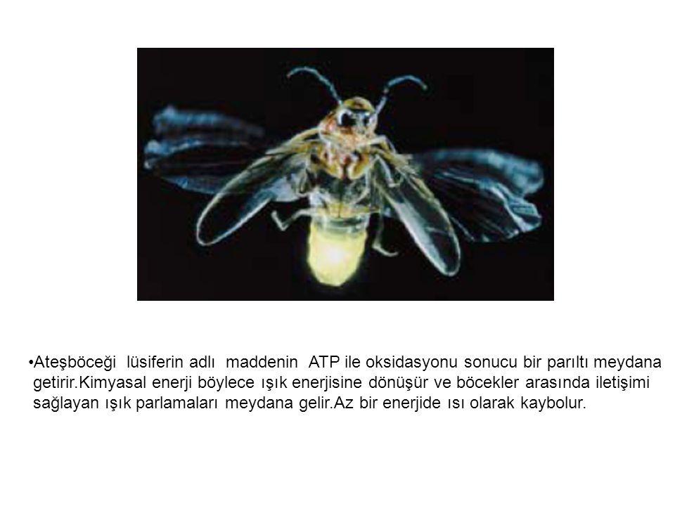 Ateşböceği lüsiferin adlı maddenin ATP ile oksidasyonu sonucu bir parıltı meydana getirir.Kimyasal enerji böylece ışık enerjisine dönüşür ve böcekler arasında iletişimi sağlayan ışık parlamaları meydana gelir.Az bir enerjide ısı olarak kaybolur.