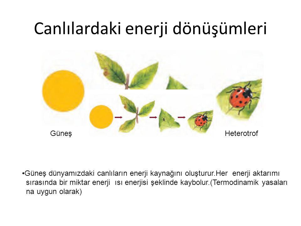 Canlılardaki enerji dönüşümleri Güneş Ototroflar Heterotrof Heterotrof Güneş dünyamızdaki canlıların enerji kaynağını oluşturur.Her enerji aktarımı sırasında bir miktar enerji ısı enerjisi şeklinde kaybolur.(Termodinamik yasaları na uygun olarak)