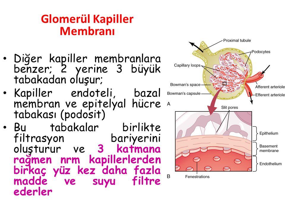 Böbreklerde cereyan eden ve aşağıda açıklanan üç olay sayesinde böbrekler görevlerini yerine getirirler. 1- Filtrasyon: Kan basıncı, plazmayı süzücü m