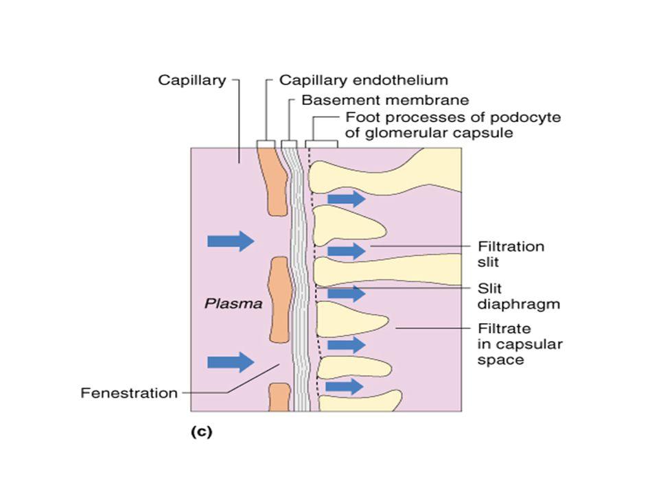 Glomerül Kapiller Membranı Diğer kapiller membranlara benzer; 2 yerine 3 büyük tabakadan oluşur; Kapiller endoteli, bazal membran ve epitelyal hücre t