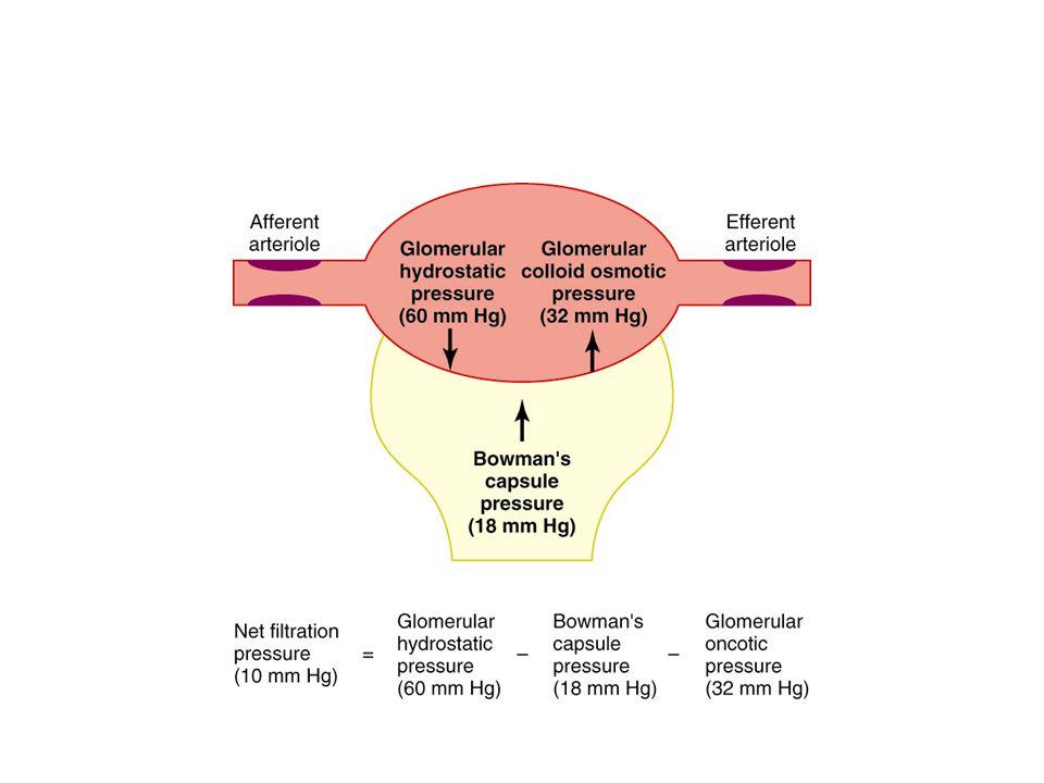 FİLTRASYON Filtrasyon renal korpüskülde gerçekleşen bir olaydır. Glomerülde süzülen maddeler üç ayrı fiziki engeli geçerler. 1- Kapiler endoteli: Glom