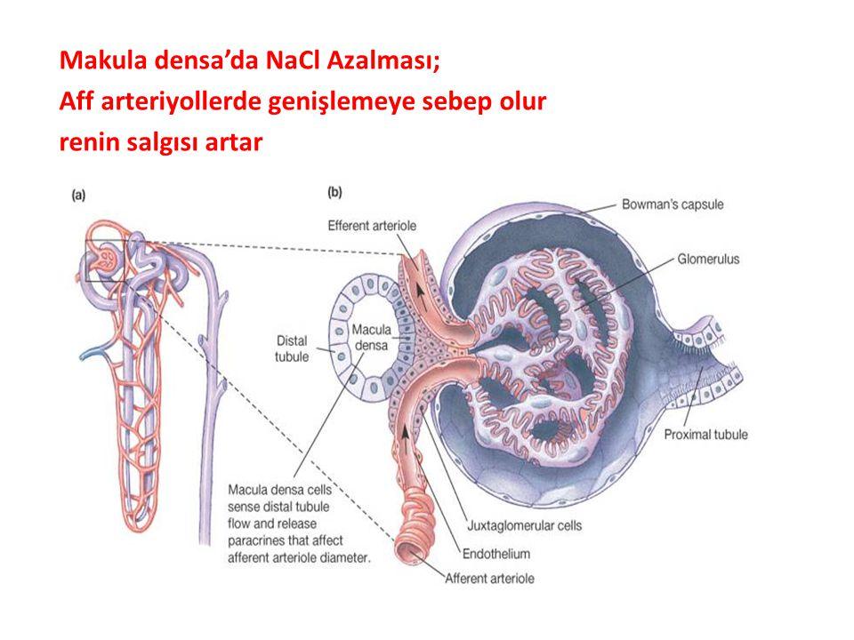 GFH'nin Hormonal Düzenlenmesi: Renin ve atrial natriüretik peptit GFH'yi düzenler. Jukstaglomerül Aparat ve Renin Salgısı: Jukstaglomerül aparat dista