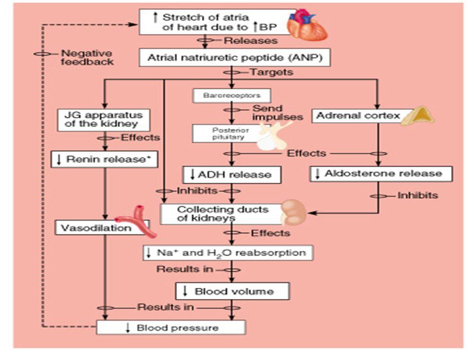 Glomerül Filtrasyon Hızına Atrial Natriüretik Peptidin (ANP) Etkisi: Kan hacmi veya kan basıncı artınca kalbin atriumları gerilir. Buna cevap olarak A