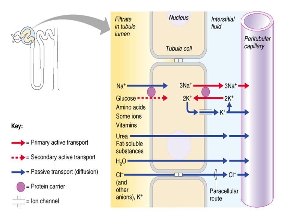 Henlenin kalın çıkıcı kolu boyunca aktif transport sodyum, potasyum ve klor iyonlarını tübüler sıvının dışına çıkartır. Taşıyıcıya Na-K/2 Cl taşıyıcıs