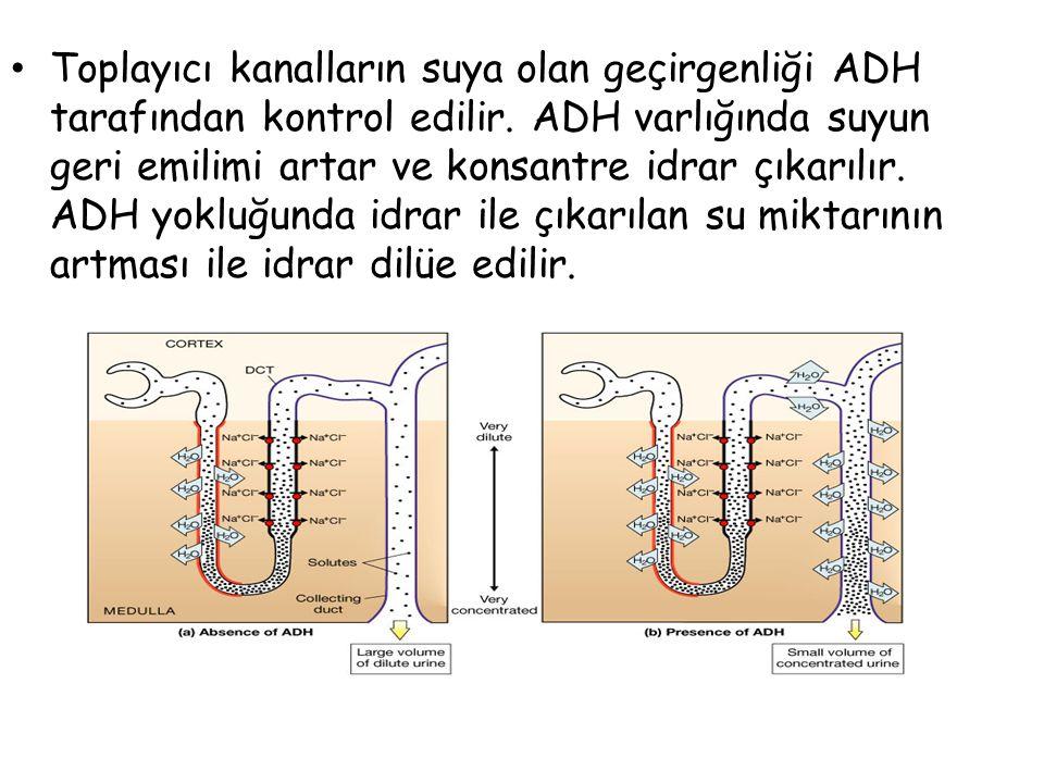 Sekresyon Filtrasyon plazmadaki tüm erimiş maddeyi ayıklayamaz. Tübül çevresindeki kılcallara giren kanda hala artık maddeler bulunur. Ancak, genel ol