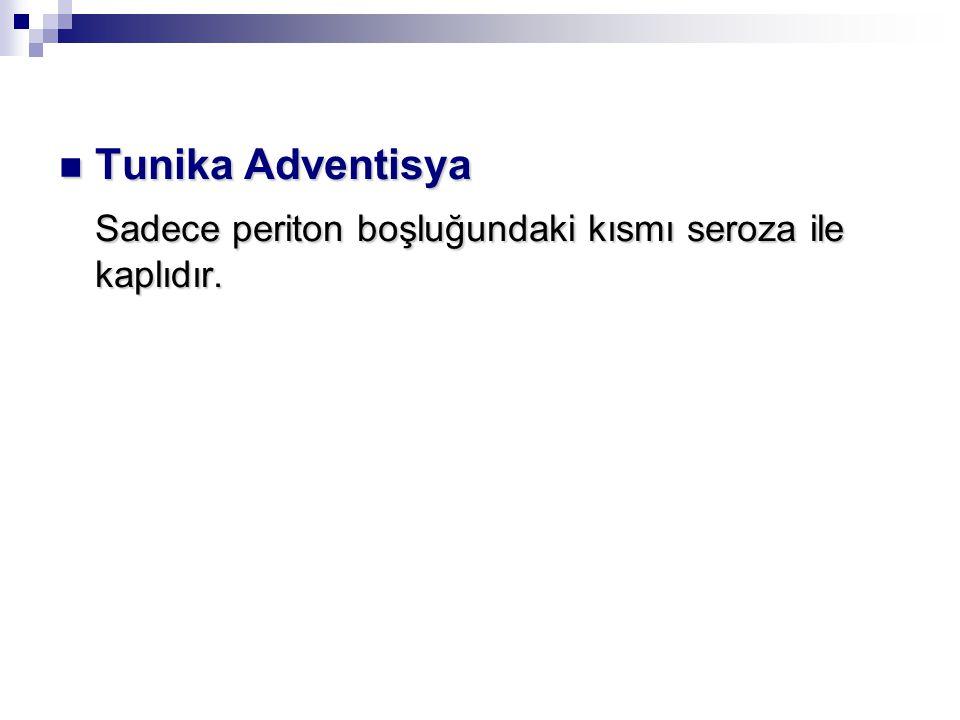 Tunika Adventisya Tunika Adventisya Sadece periton boşluğundaki kısmı seroza ile kaplıdır.