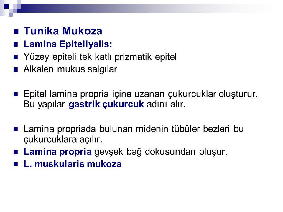 Tunika Mukoza Lamina Epiteliyalis: Yüzey epiteli tek katlı prizmatik epitel Alkalen mukus salgılar Epitel lamina propria içine uzanan çukurcuklar oluşturur.