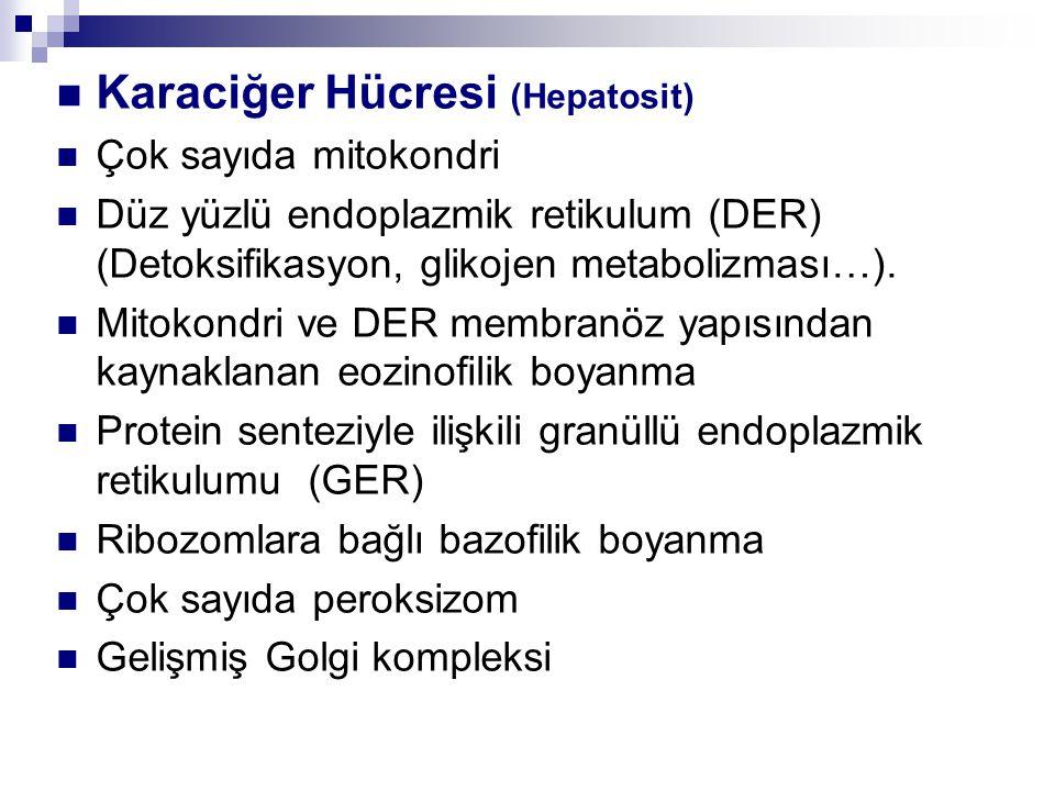 Karaciğer Hücresi (Hepatosit) Çok sayıda mitokondri Düz yüzlü endoplazmik retikulum (DER) (Detoksifikasyon, glikojen metabolizması…).