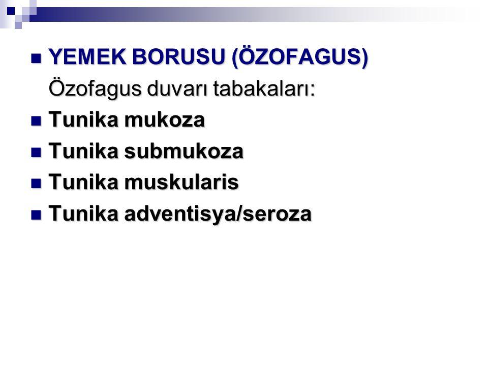 YEMEK BORUSU (ÖZOFAGUS) YEMEK BORUSU (ÖZOFAGUS) Özofagus duvarı tabakaları: Tunika mukoza Tunika mukoza Tunika submukoza Tunika submukoza Tunika muskularis Tunika muskularis Tunika adventisya/seroza Tunika adventisya/seroza