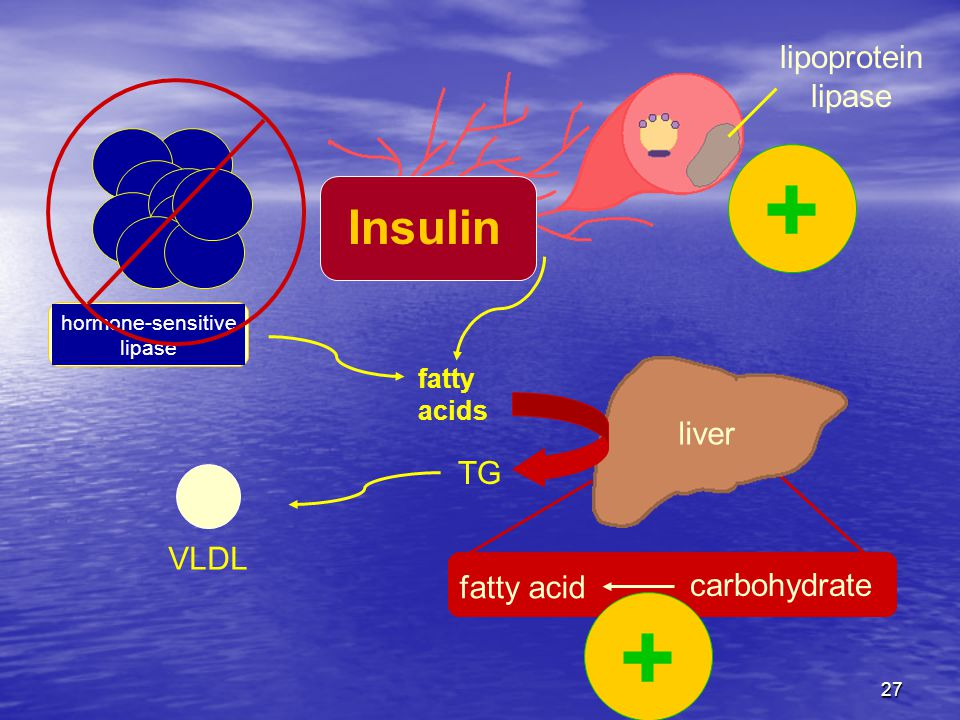27 fatty acids hormone-sensitive lipase fatty acid carbohydrate liver TG VLDL lipoprotein lipase Insulin + +