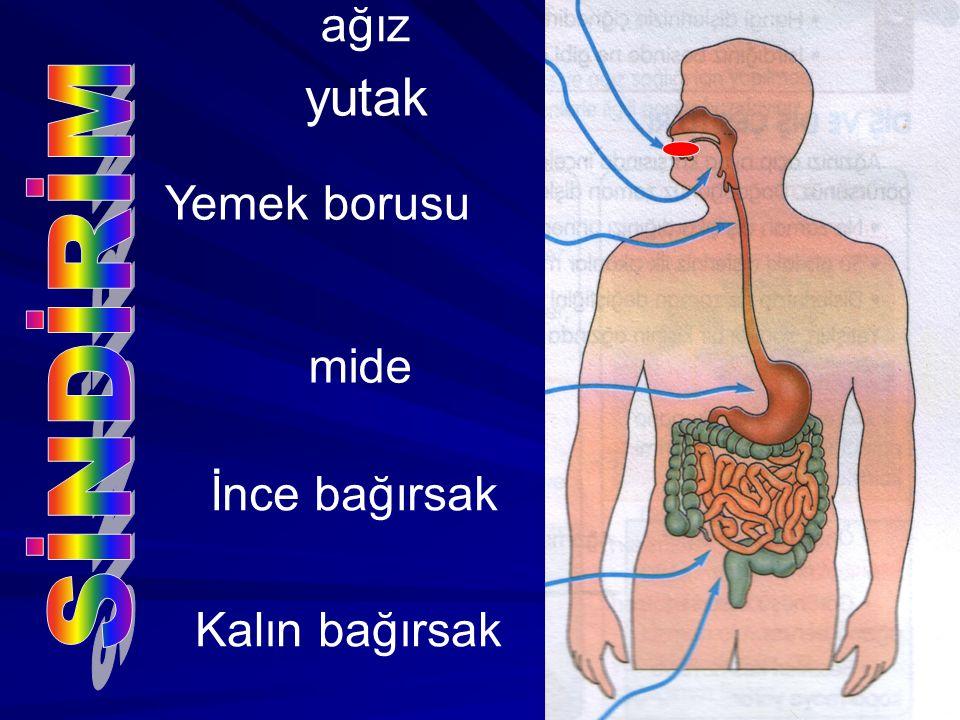 yutak ağız Yemek borusu mide İnce bağırsak Kalın bağırsak