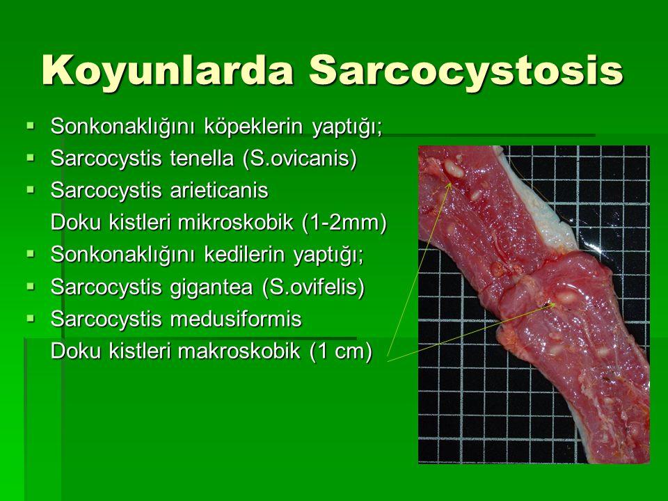 Koyunlarda Sarcocystosis  Sonkonaklığını köpeklerin yaptığı;  Sarcocystis tenella (S.ovicanis)  Sarcocystis arieticanis Doku kistleri mikroskobik (
