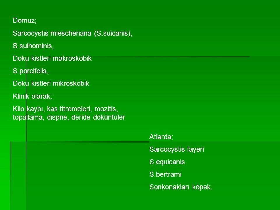 Domuz; Sarcocystis miescheriana (S.suicanis), S.suihominis, Doku kistleri makroskobik S.porcifelis, Doku kistleri mikroskobik Klinik olarak; Kilo kayb