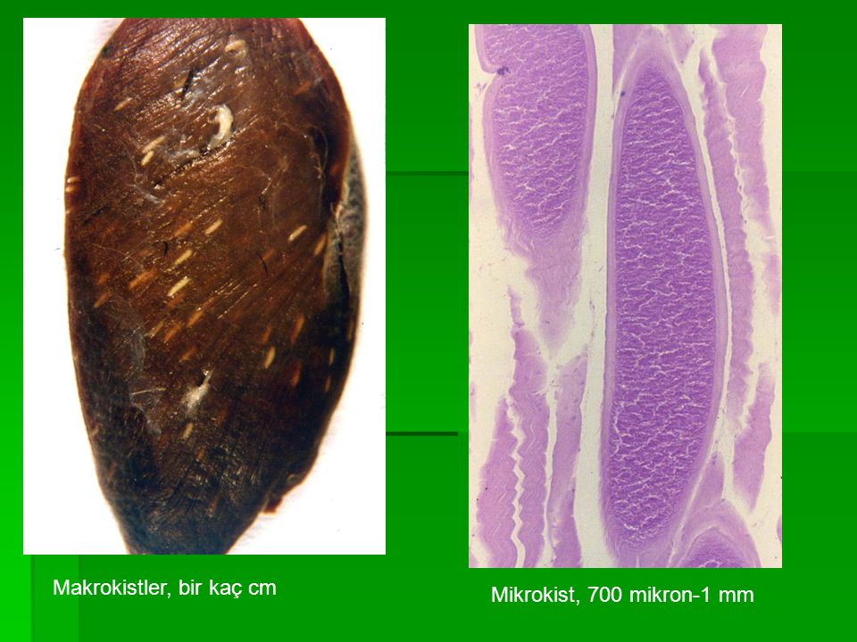 Koyunlarda Sarcocystosis  Sonkonaklığını köpeklerin yaptığı;  Sarcocystis tenella (S.ovicanis)  Sarcocystis arieticanis Doku kistleri mikroskobik (1-2mm) Doku kistleri mikroskobik (1-2mm)  Sonkonaklığını kedilerin yaptığı;  Sarcocystis gigantea (S.ovifelis)  Sarcocystis medusiformis Doku kistleri makroskobik (1 cm)