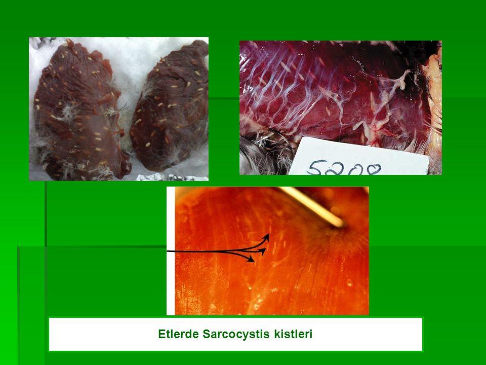 Etlerde Sarcocystis kistleri