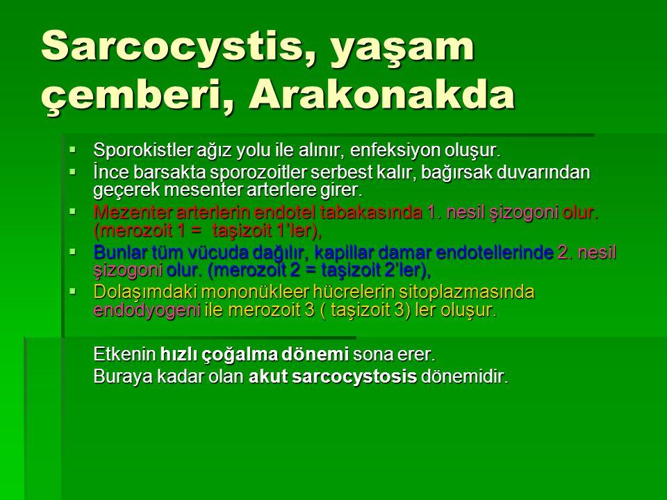 Sarcocystis, yaşam çemberi, Arakonakda  Sporokistler ağız yolu ile alınır, enfeksiyon oluşur.  İnce barsakta sporozoitler serbest kalır, bağırsak du