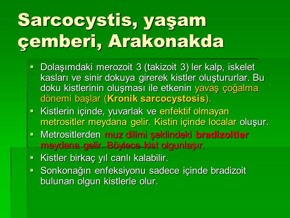 Sarcocystis, yaşam çemberi, Arakonakda  Dolaşımdaki merozoit 3 (takizoit 3) ler kalp, iskelet kasları ve sinir dokuya girerek kistler oluştururlar. B
