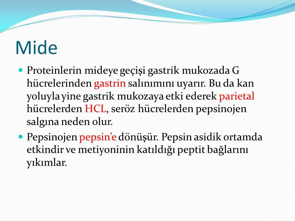 Mide Proteinlerin mideye geçişi gastrik mukozada G hücrelerinden gastrin salınımını uyarır. Bu da kan yoluyla yine gastrik mukozaya etki ederek pariet