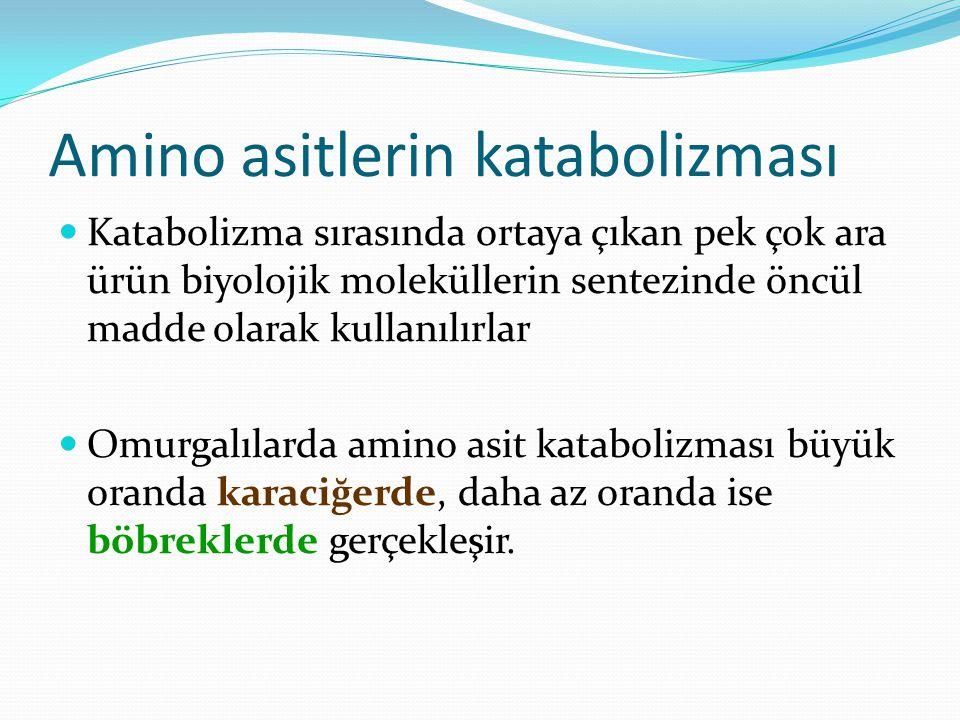 Amino asitlerin katabolizması Katabolizma sırasında ortaya çıkan pek çok ara ürün biyolojik moleküllerin sentezinde öncül madde olarak kullanılırlar O