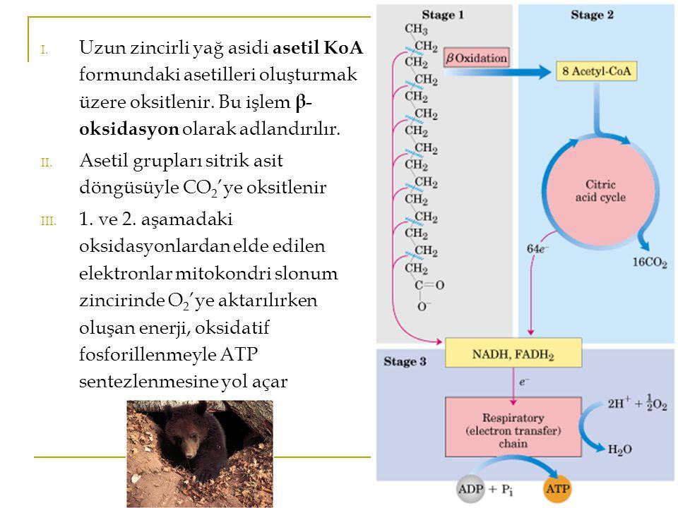I.Uzun zincirli yağ asidi asetil KoA formundaki asetilleri oluşturmak üzere oksitlenir.