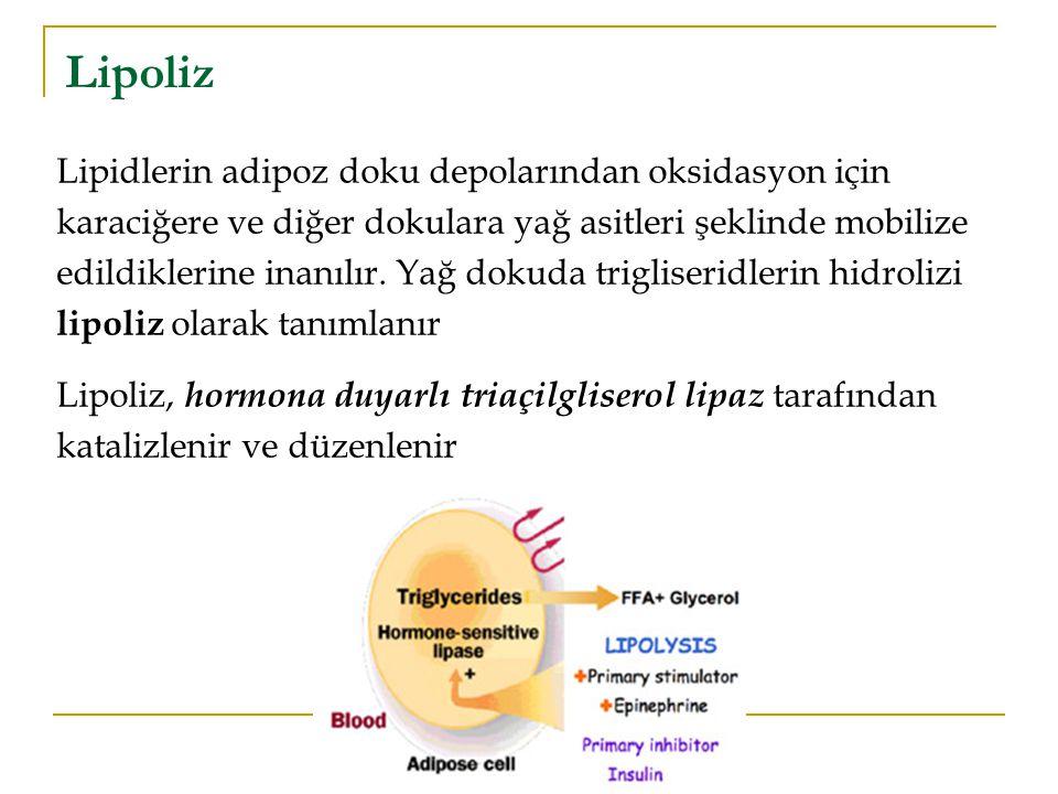 Lipoliz Lipidlerin adipoz doku depolarından oksidasyon için karaciğere ve diğer dokulara yağ asitleri şeklinde mobilize edildiklerine inanılır.