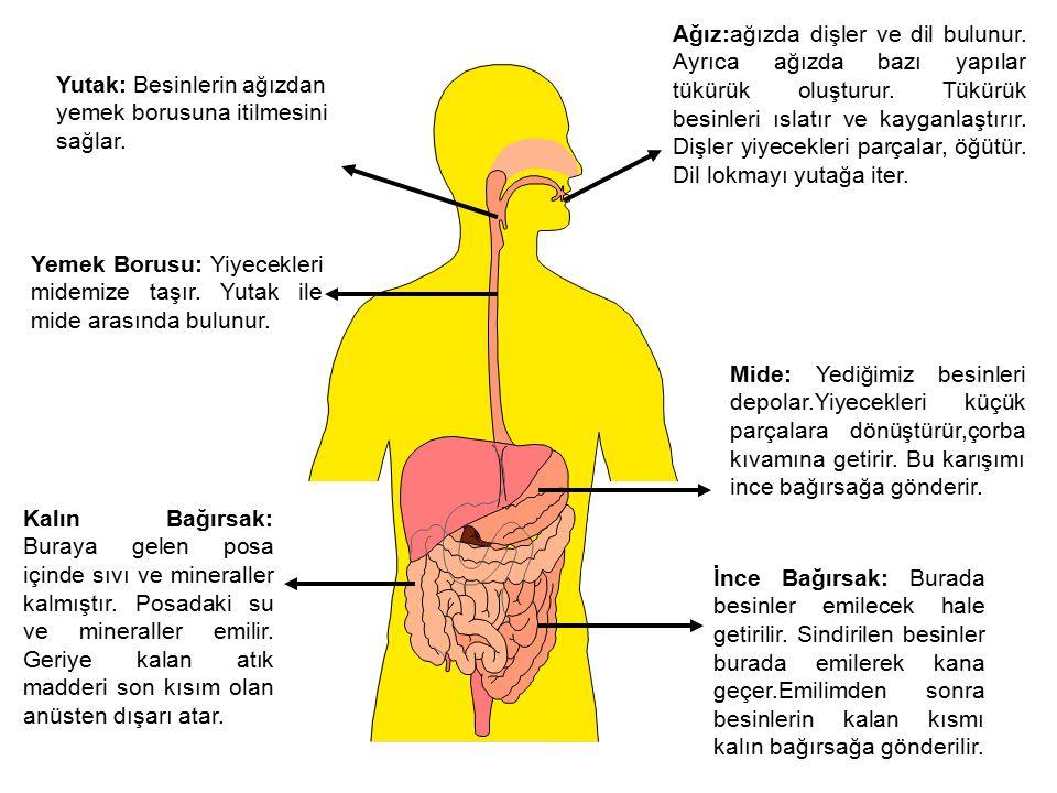 Ağız:ağızda dişler ve dil bulunur. Ayrıca ağızda bazı yapılar tükürük oluşturur. Tükürük besinleri ıslatır ve kayganlaştırır. Dişler yiyecekleri parça