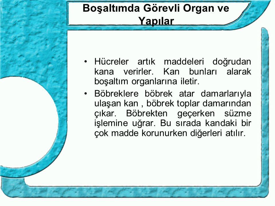 Boşaltımda Görevli Organ ve Yapılar Hücreler artık maddeleri doğrudan kana verirler. Kan bunları alarak boşaltım organlarına iletir. Böbreklere böbrek
