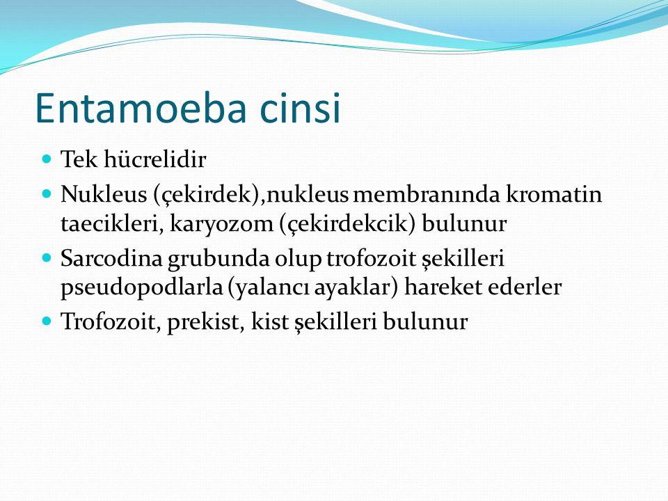 Entamoeba cinsi Tek hücrelidir Nukleus (çekirdek),nukleus membranında kromatin taecikleri, karyozom (çekirdekcik) bulunur Sarcodina grubunda olup trofozoit şekilleri pseudopodlarla (yalancı ayaklar) hareket ederler Trofozoit, prekist, kist şekilleri bulunur