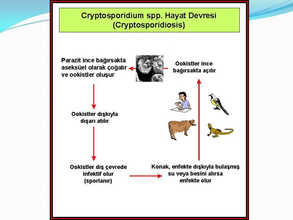 Cryptosporidiosis:Tanı Dışkı, balgam, safra gibi ö rneklerde 4-6 µ m boyutlarındaki Cryptosporidium sp.