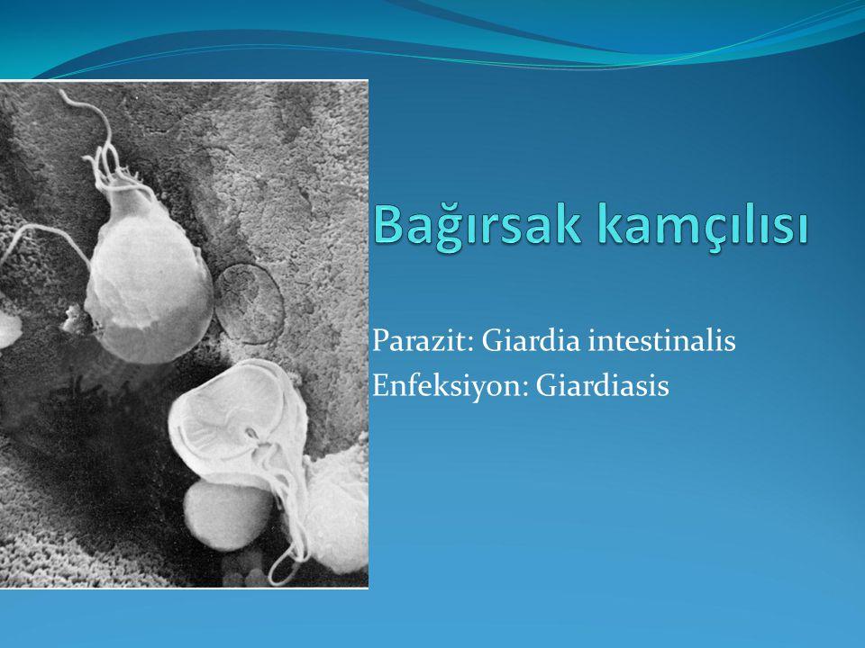 Parazit: Giardia intestinalis Enfeksiyon: Giardiasis