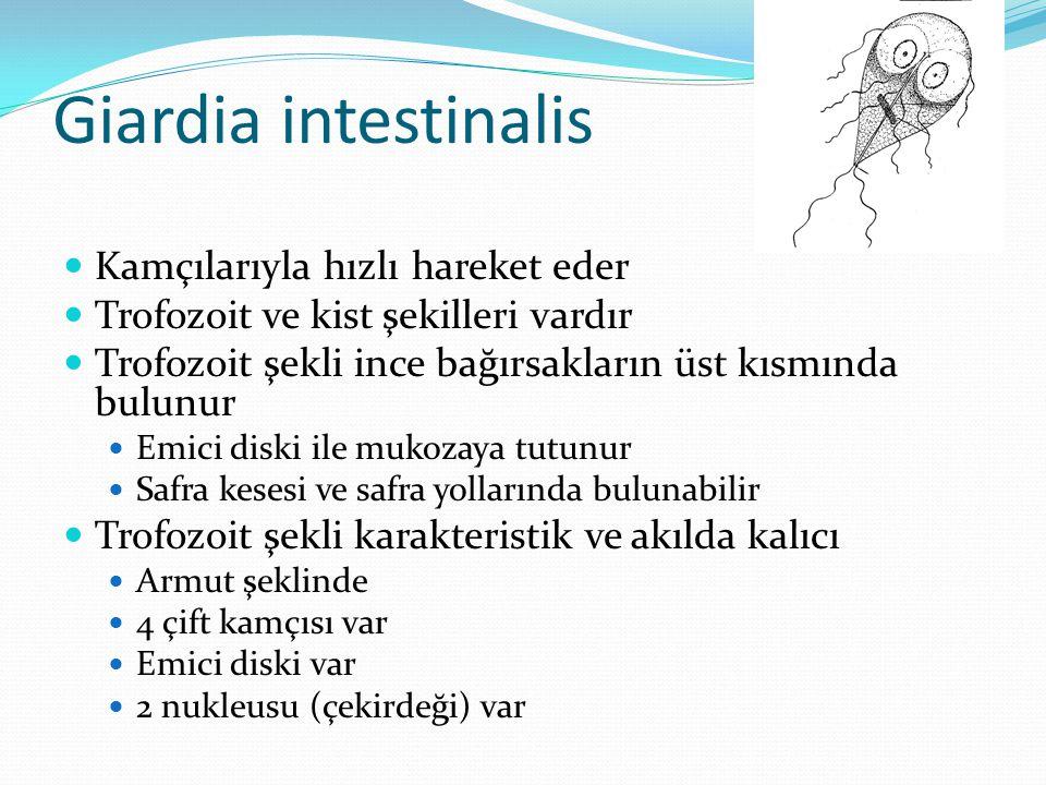 Giardia intestinalis Kamçılarıyla hızlı hareket eder Trofozoit ve kist şekilleri vardır Trofozoit şekli ince bağırsakların üst kısmında bulunur Emici diski ile mukozaya tutunur Safra kesesi ve safra yollarında bulunabilir Trofozoit şekli karakteristik ve akılda kalıcı Armut şeklinde 4 çift kamçısı var Emici diski var 2 nukleusu (çekirdeği) var