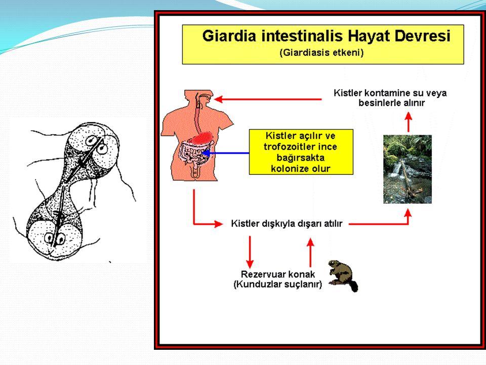 Giardia intestinalis Kist şekli Oval şekilli İçindeki 4 nukleus ve diğer yapılar boyalı dışkı preparatında görülür Giardiasis'te kist atılımı sürekli değildir, şüpheli durumlarda farklı günlerde birden fazla örnek incelenmeli