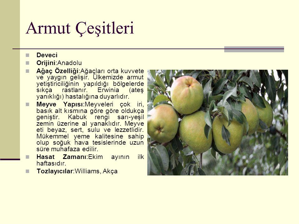 Armut Çeşitleri Deveci Orijini:Anadolu Ağaç Özelliği:Ağaçları orta kuvvete ve yaygın gelişir. Ülkemizde armut yetiştiriciliğinin yapıldığı bölgelerde